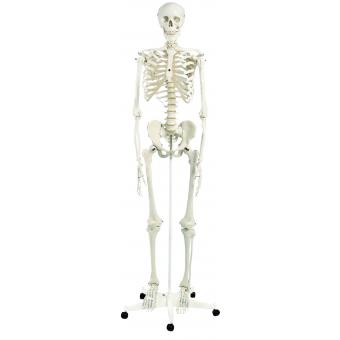Anatomical Model - Stan the classic skeleton on roller stand