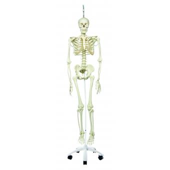 Anatomical Model - Phil the physiological skeleton on hanging roller stand