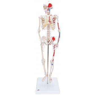 Anatomical Model - Shorty the mini skeleton with muscles on mounted base