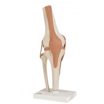 Anatomical Model - functional knee joint